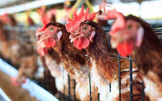Curso online de Producción Avícola Intensiva